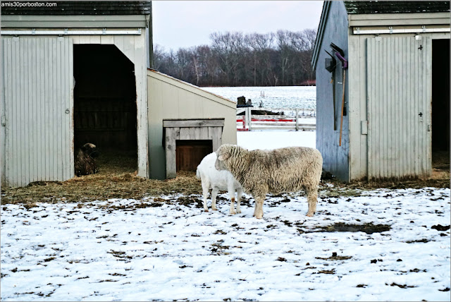 Animales de la Spencer Peirce Little Farm