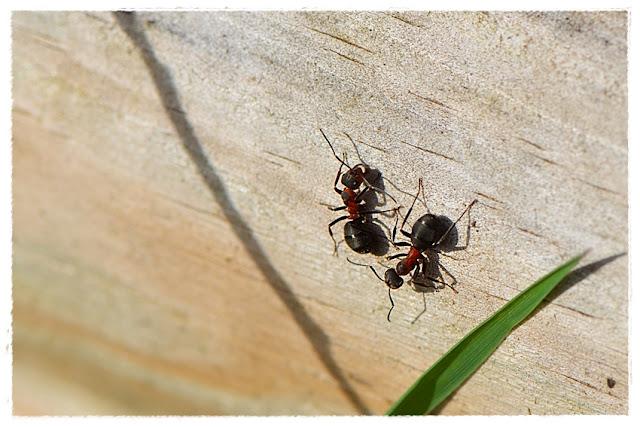 fourmis des bois