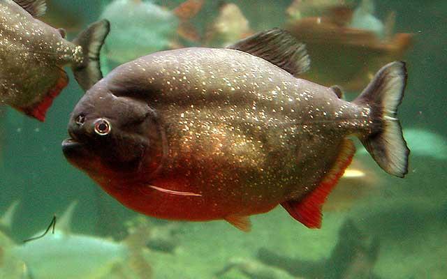 Piranha Merah (Pygocentrus nattereri)