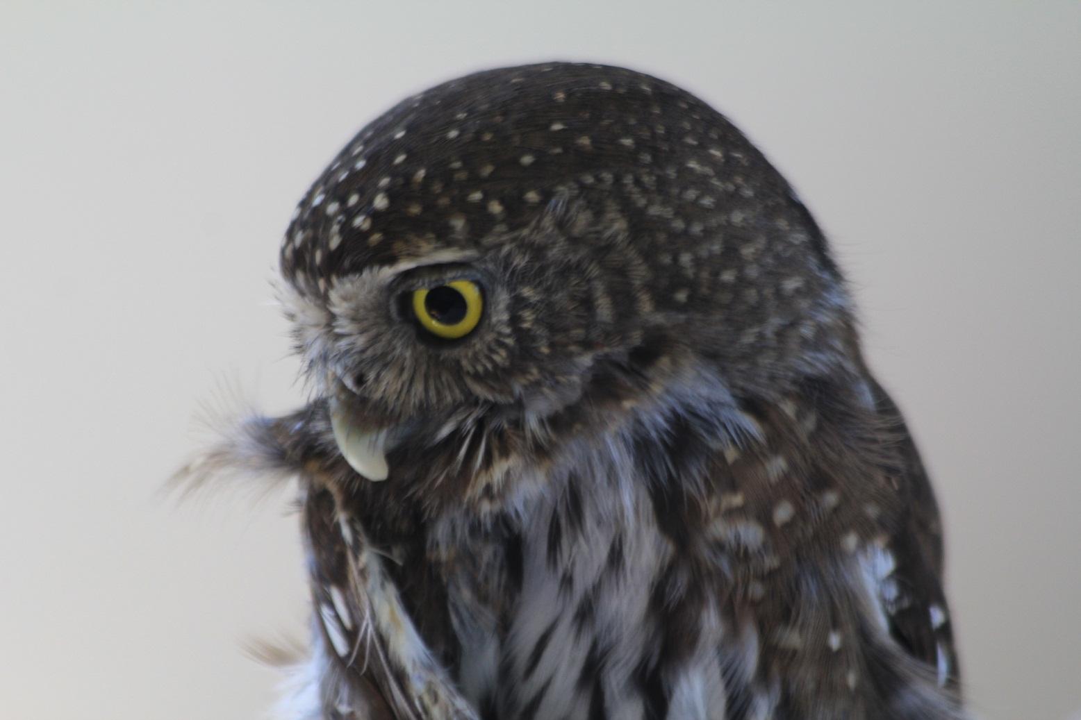 Meetthemoose Owl Rehabilitation Society Week Two