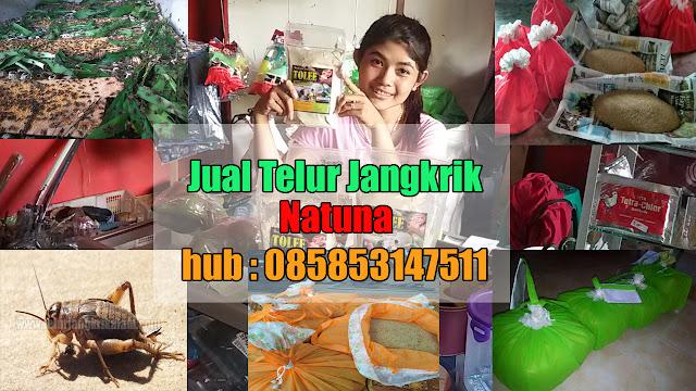 Anda mencari kawasan jual telur jangkrik  Natuna Order WA 0858-5314-7511 Bibit Telur Jangkrik Natuna