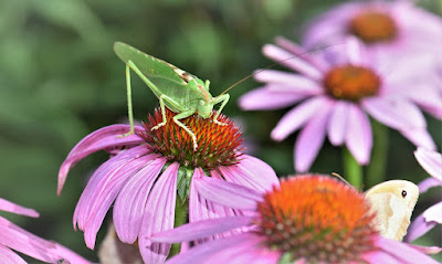 herbal, Manfaat Tanaman Herbal, echinacea, echinacea purpurea , tanaman echinacea purpurea ,