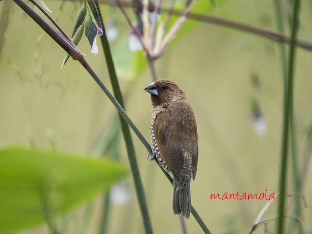 Scaly-Breasted Murnia (Lonchura punctulata)