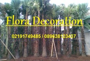 Gambar palm sadeng harga murah
