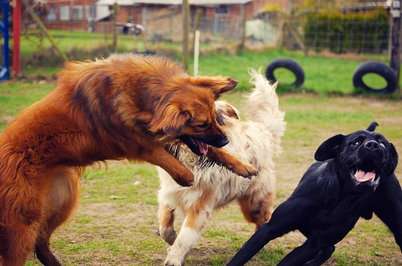 Comment arrêter un combat de chien en toute sécurité