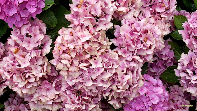 Close-up foto roze hortensia