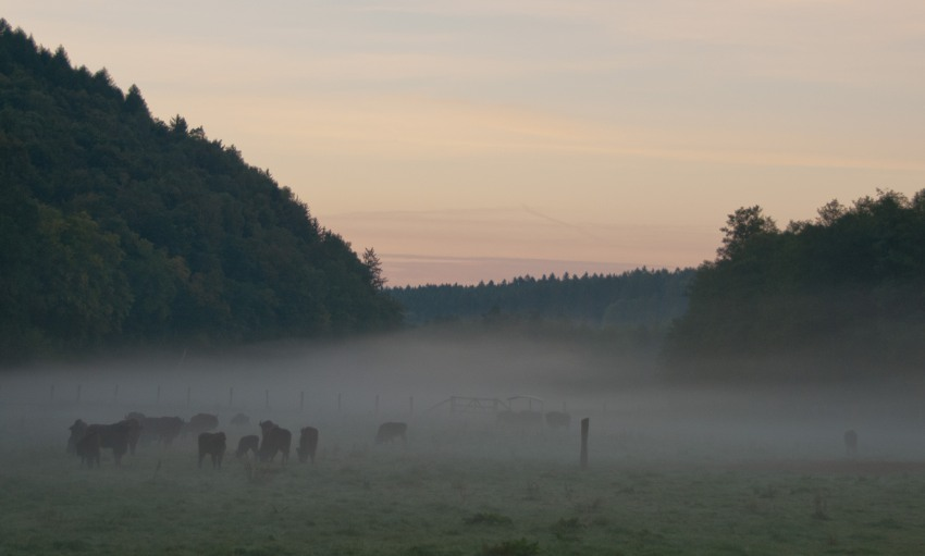 Wisente, Nebel, Herbst, Nature, Germany