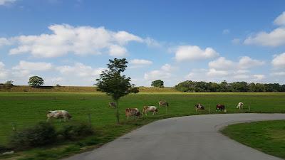 mucche della baviera