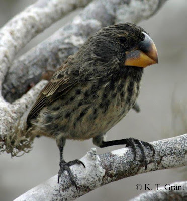 Evolution in action detected in Darwin's finches
