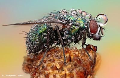 Macro fotografía de una mosca