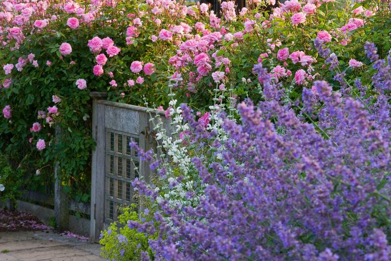 Rosa 'The Mayflower' en Easton Walled Gardens (cottage garden) • Foto Clive Nichols