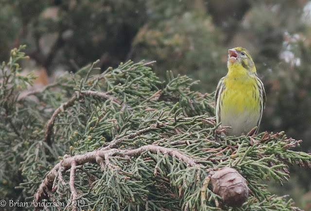 Serin at Littlestone and a first for London