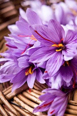 Saffron - Nhụy hoa Nghệ tây ở độ tuổi nào có thể dùng được
