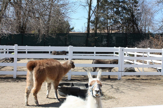 Llamas at the Cosley Zoo in Wheaton, IL