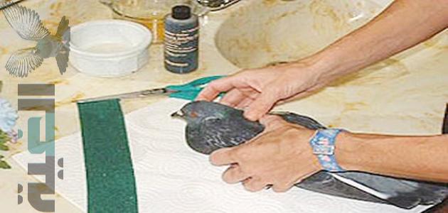 كيفية علاج كسر جناح الحمام بالتفصيل
