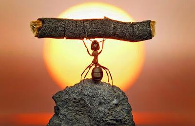 formiga com peso john macarthur