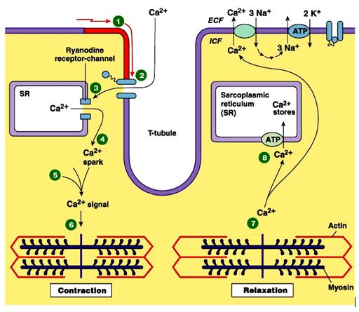 mekanisme kontraksi otot jantung