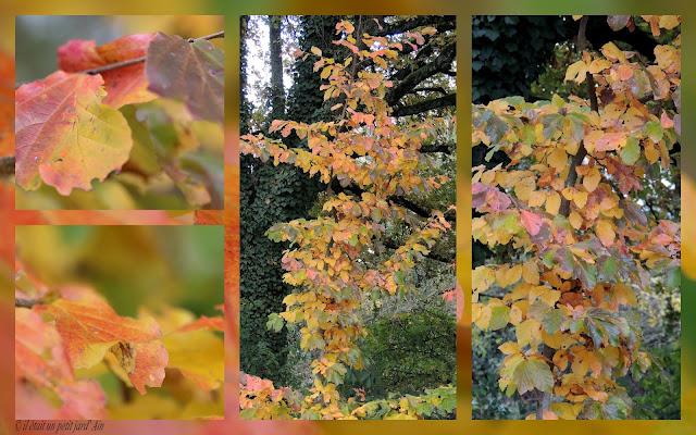 parrotia persica arbre couleurs automnales