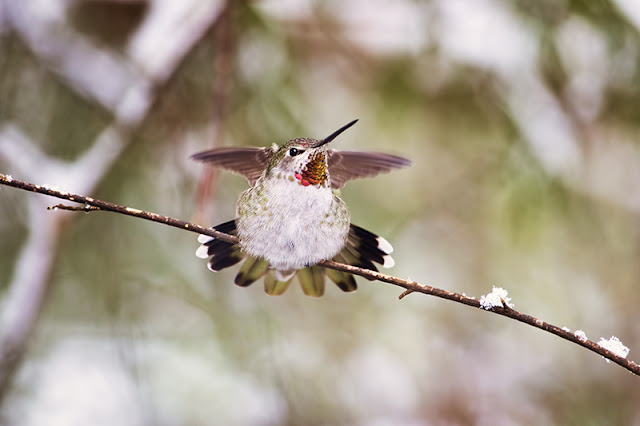 annas hummingbird, winter, snow