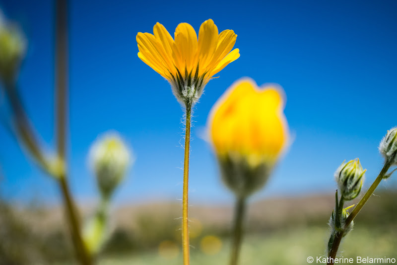 Desert Sunflower Southern California Anza-Borrego Desert Wildflowers