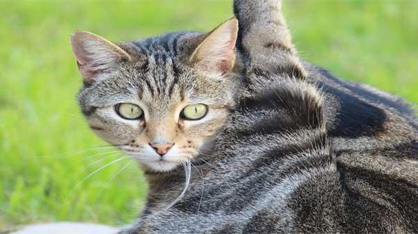fleas in cats