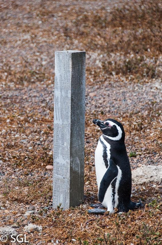 Pingüinera de San Lorenzo. Argentina