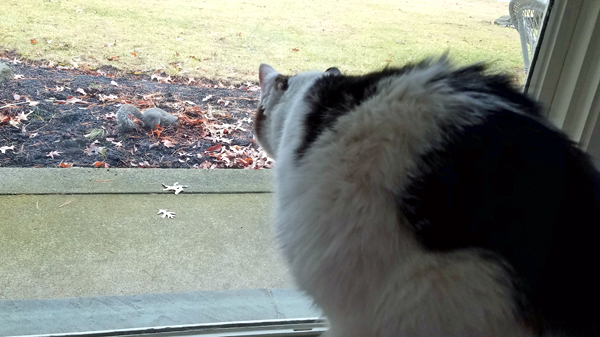 image of Olivia the White Farm Cat sitting in the window, watching a squirrel