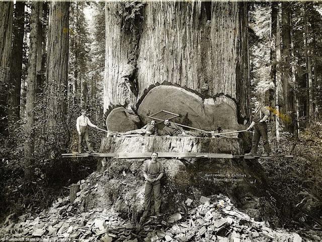 Cutting huge tree