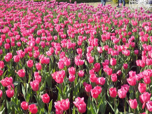 Zhongshe flower market taichung tulips