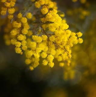 Gambar Bunga Akasia yang Indah 4