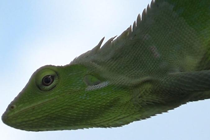 Dlium Maned forest lizard (Bronchocela jubata)
