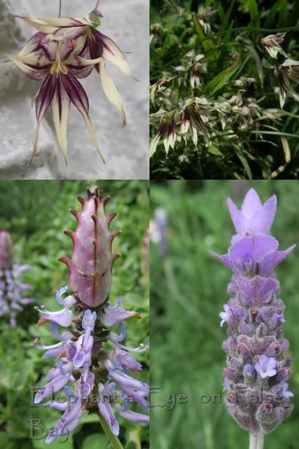 Melasphaerula Plectranthus neochilus, lavender