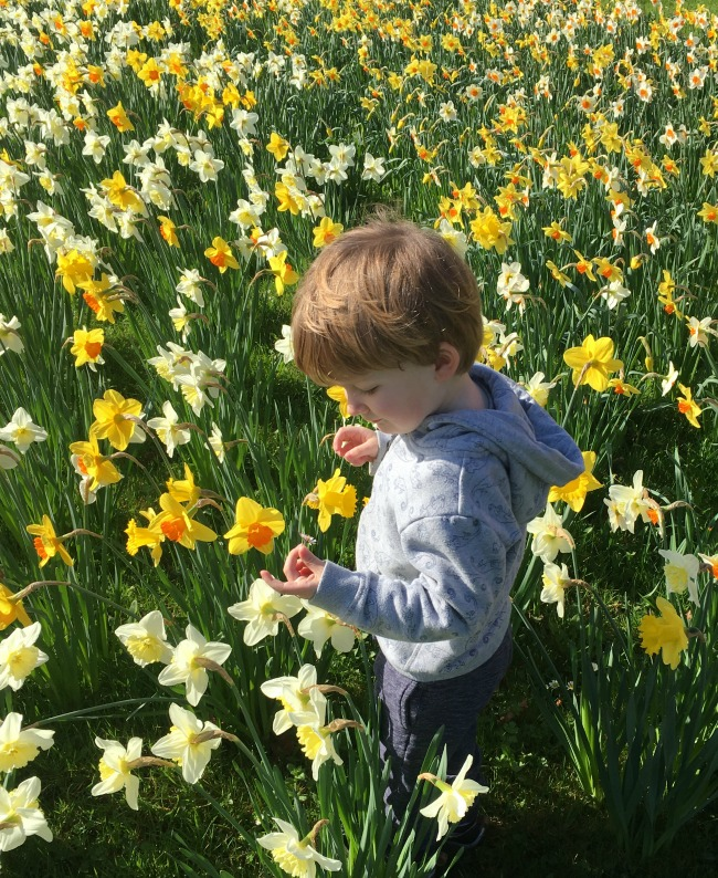 #MySundayPhoto-Number-13-toddler-amongst-daffodils