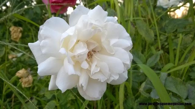 planta, rosal de flor blanca