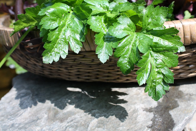 Italian Flat-Leaf Parsley, my Grandmother's gathering basket, image by LeAnn for linenandlavender.net