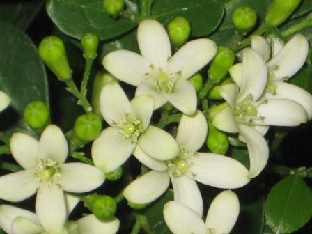 Angel Nurserry Bunga Bunga Wangi Aromatik