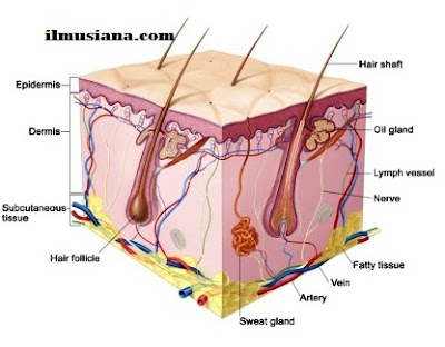 Excretory System Human Body - Ilmusiana