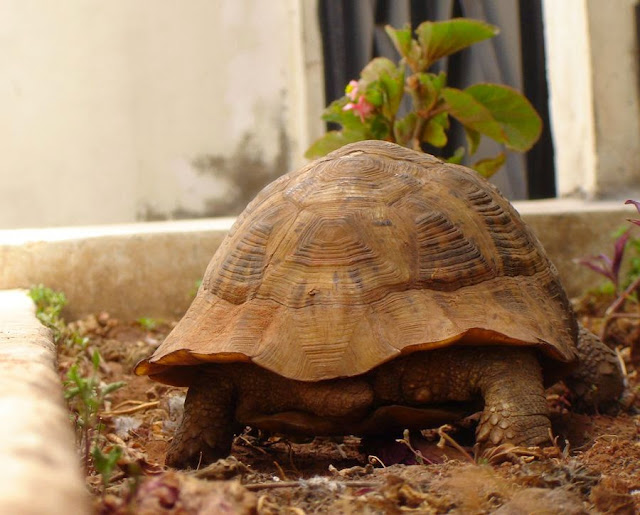 Żółw w Maroku