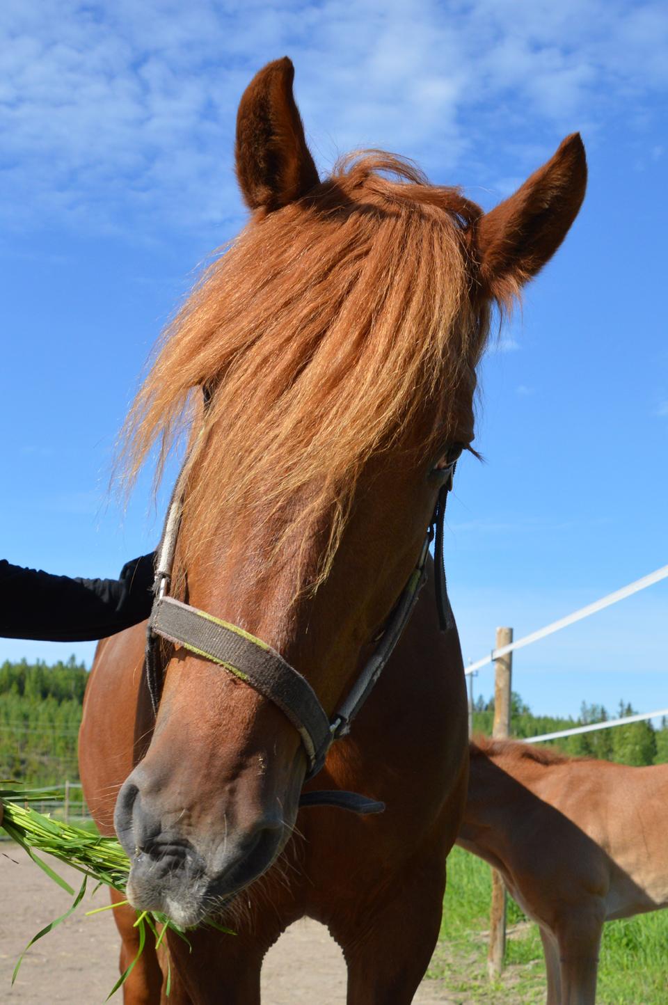 Hevosen Vatsahaava