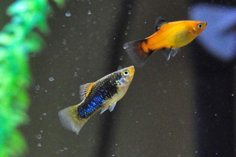 20. Jenis Ikan Hias Aquascape Platy