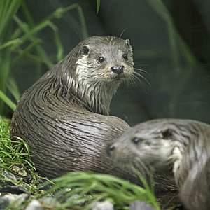 Gambar Binatang Musang Air