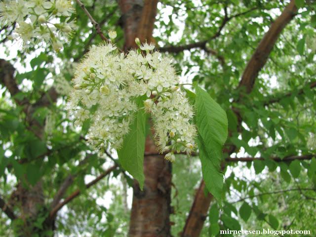 Томск, весна, цветение черёмухи Маата на Новособорной площади