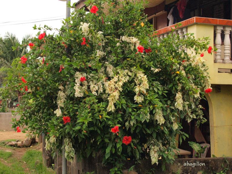 Pure Oxygen Generators Old Reliable Hibiscus