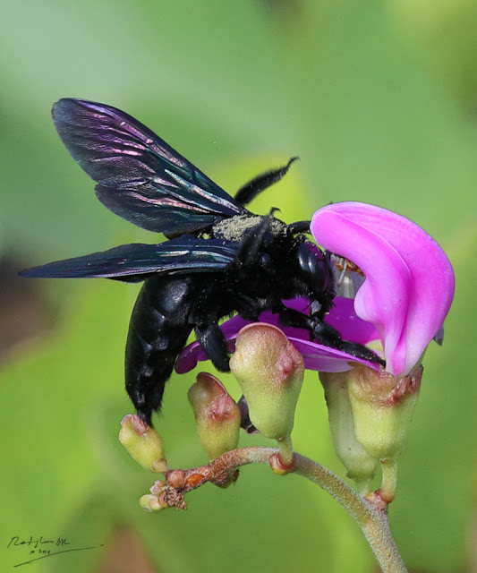 Black carpenter bee on puple flower
