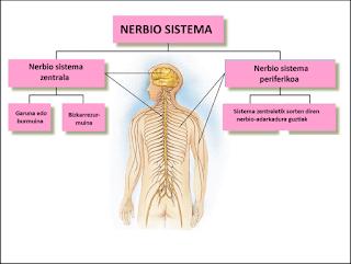 nerbio sistema bilaketarekin bat datozen irudiak
