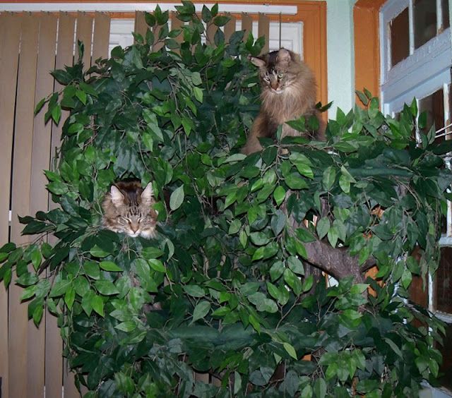 Cat Trees for Extra Large Kitties