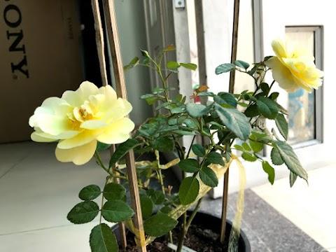 Hai hoa hồng vàng