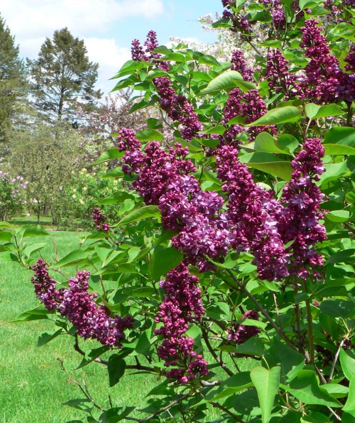 visit my garden lilacs at the arboretum. Black Bedroom Furniture Sets. Home Design Ideas