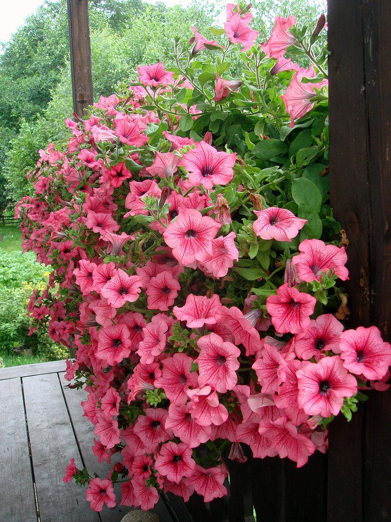 Compras y venta de plantas ornamentales plantas ornamentales for Importancia de las plantas ornamentales