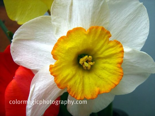Daffodil-macro photography